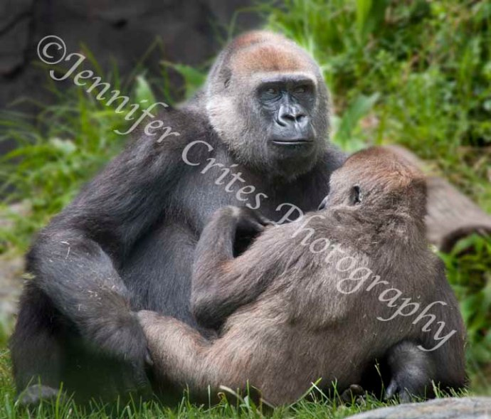 gorilla mother and youngster