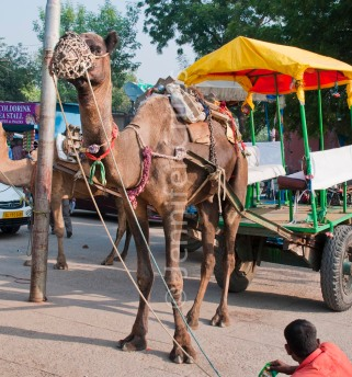 Take a camel-cart ride near the Taj Mahal